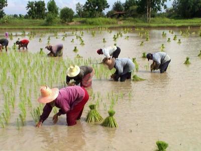Tranplant-rice-tahiland